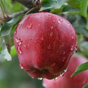 前60秒半价# 甘肃礼县 花牛红苹果 10斤装 27.5元包邮(54.9-27.4)