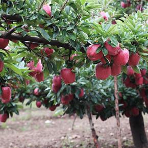 前60秒立减# 鲜飘飘 海拔1400高原甜苹果 5斤 19.9元包邮(26.9-7)
