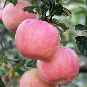 前1分钟# 二奶奶果园 大沙河红富士苹果 10斤 4日8点 29.9元包邮(39.9-10)