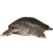 前5分钟# 河洲 洞庭湖生态中华老鳖 1.4斤 2只 17点 79元包邮(买1送1)
