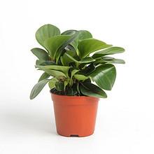 套装好价# 枫爱 碧玉豆瓣小盆栽+仿真植物垫子 2.6元包邮