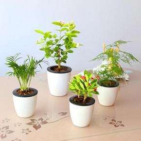 茉莉花发财树桌面盆栽植物 5.8元包邮