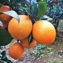 现摘现发# 秭归纽荷尔脐橙5斤装 单果150g-200g 22.8元包邮