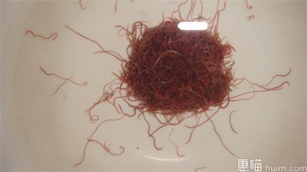 济南捞虫族臭水里淘金:每天最多赚千元 捞100斤红线虫