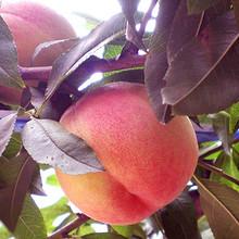 鲜嫩多汁# 农家谣现摘现发当季蜜桃5斤 24.9元包邮(29.9-5券)