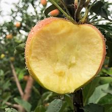 ¥15.8 苹果水果新鲜10斤