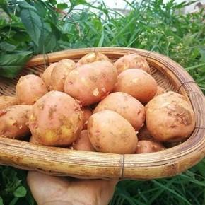 天猫 云南 红皮小土豆 马铃薯 10斤 15.6元包邮
