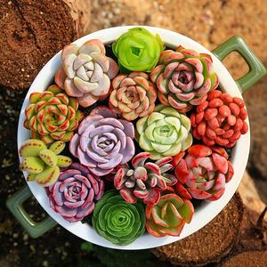 多肉植物10颗+盆10个+土+多菌灵