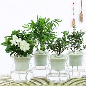 多种可选# 室内水培绿植盆栽