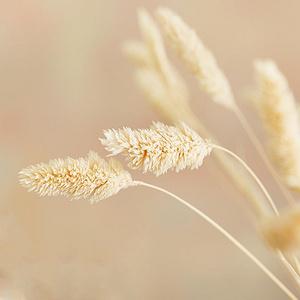 芯陌 自然风干宝石草